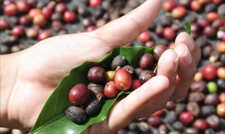Parliamo di caffè: prime fasi di lavorazione